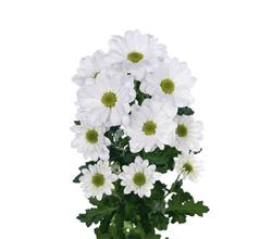 crisantemo-220